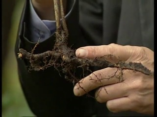 Свойства корней малины